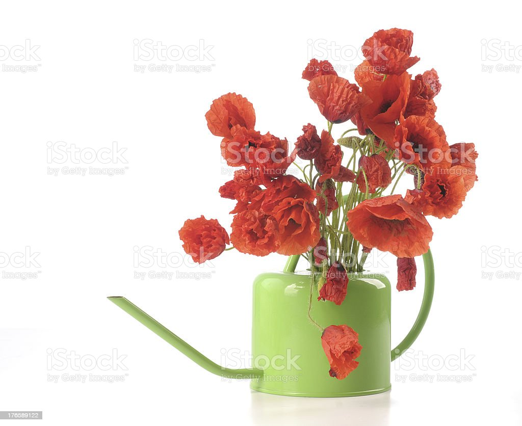 Poppy flowers in a watering can royalty-free stock photo