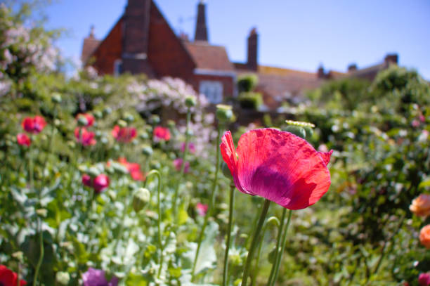 Poppy flowers in an English garden in Rye, UK stock photo