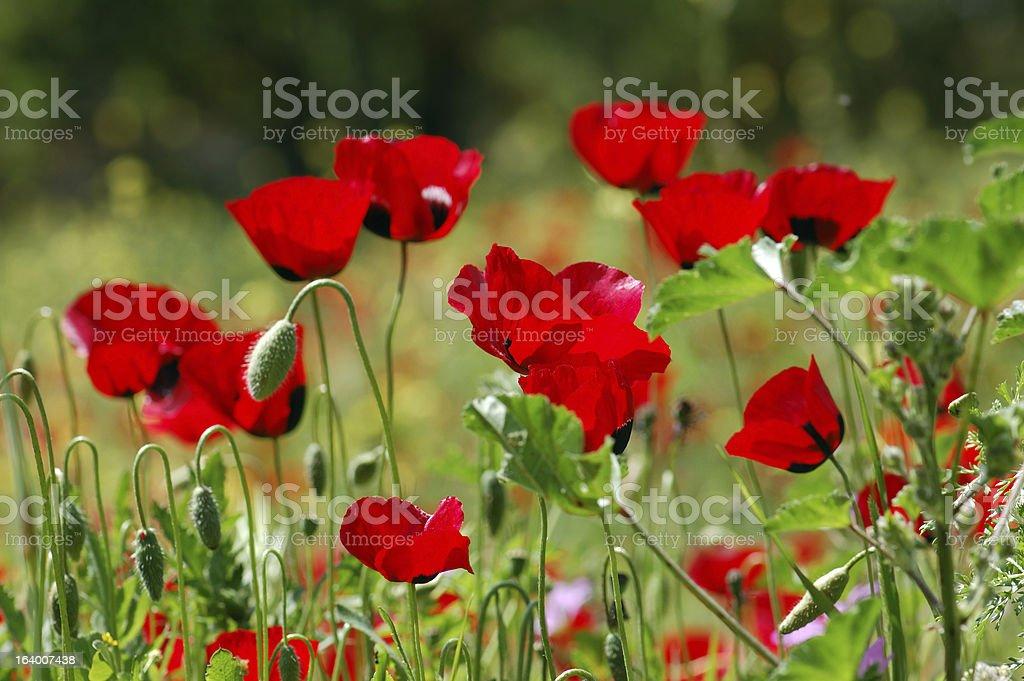 poppy flowers in green field royalty-free stock photo