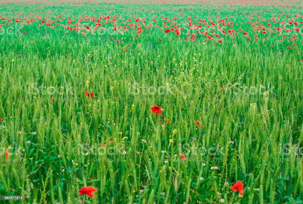 Poppy flowers in the green grass. royalty-free stock photo