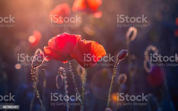 Poppy flowers in the meadow at sunset picture id462960451?b=1&k=6&m=462960451&s=612x612&h=1nkvzxcswjsaifc9u5oiqsqj1pgg8ivil1wvhfpq8nc=