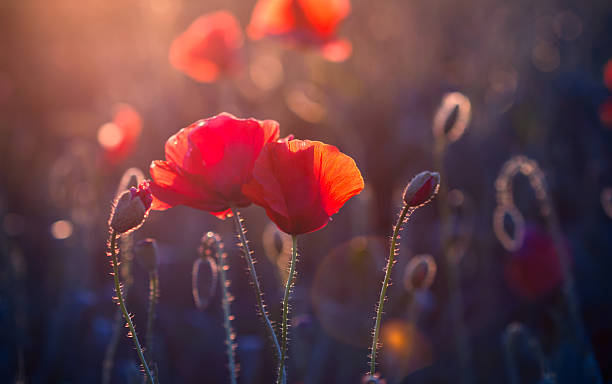 Poppy flowers in the meadow at sunset picture id462960451?b=1&k=6&m=462960451&s=612x612&w=0&h=moqs6anow7vjhxtnq2jpl30hdujzuzn7ufyqlqxmaum=