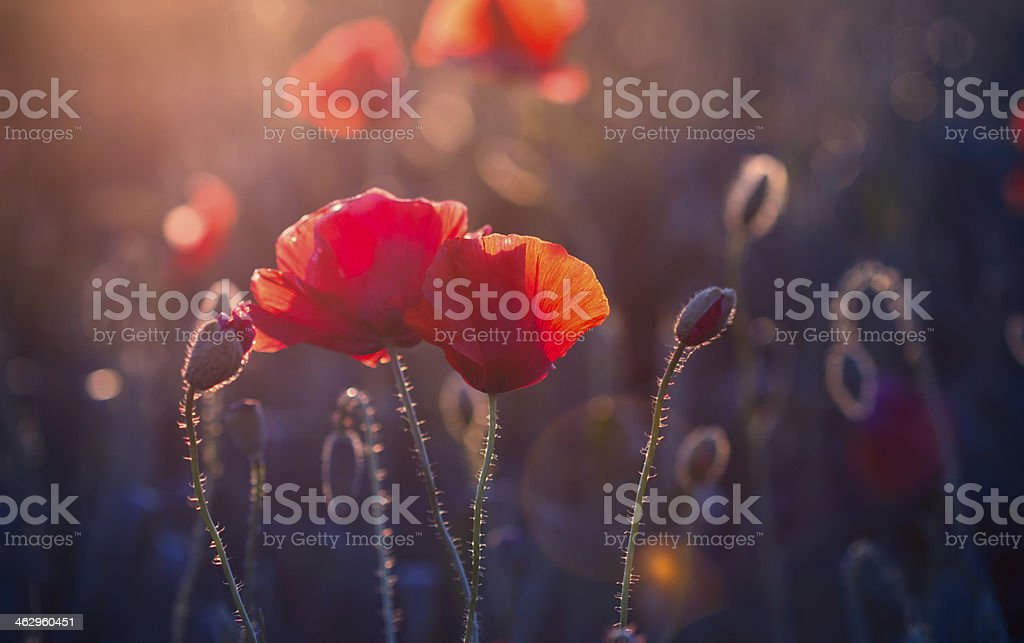 Poppy flowers in the meadow at sunset stock photo