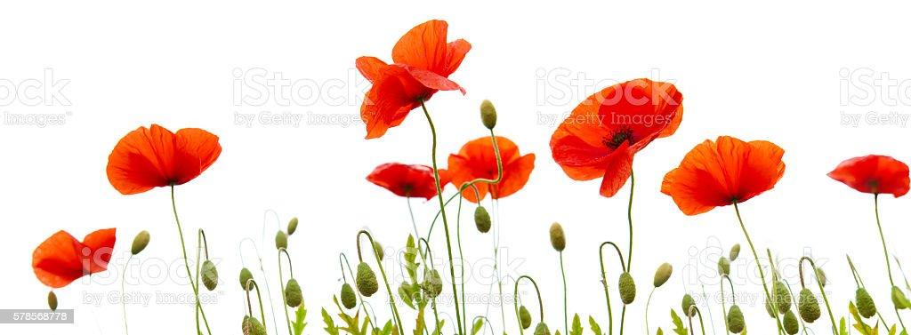 Poppy flowers isolated on white background stock photo