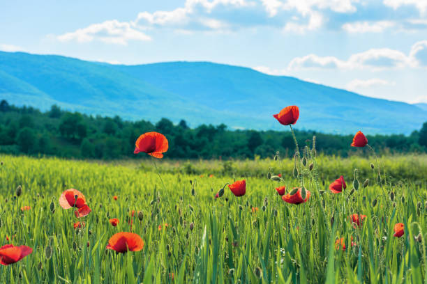 poppy flowers on a rural field in mountains stock photo