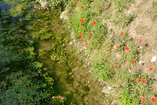 Poppy flowers on the lake shore, and algae in the water