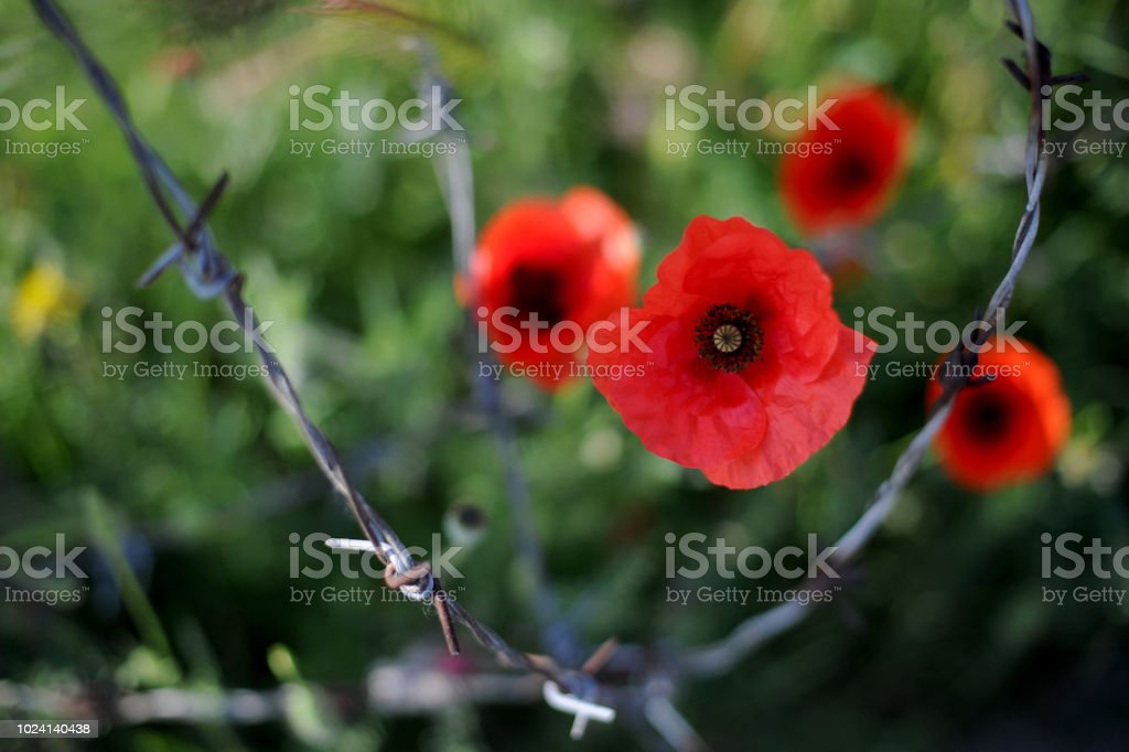 Poppy flowers or papaver rhoeas poppies with the light behind stock photo