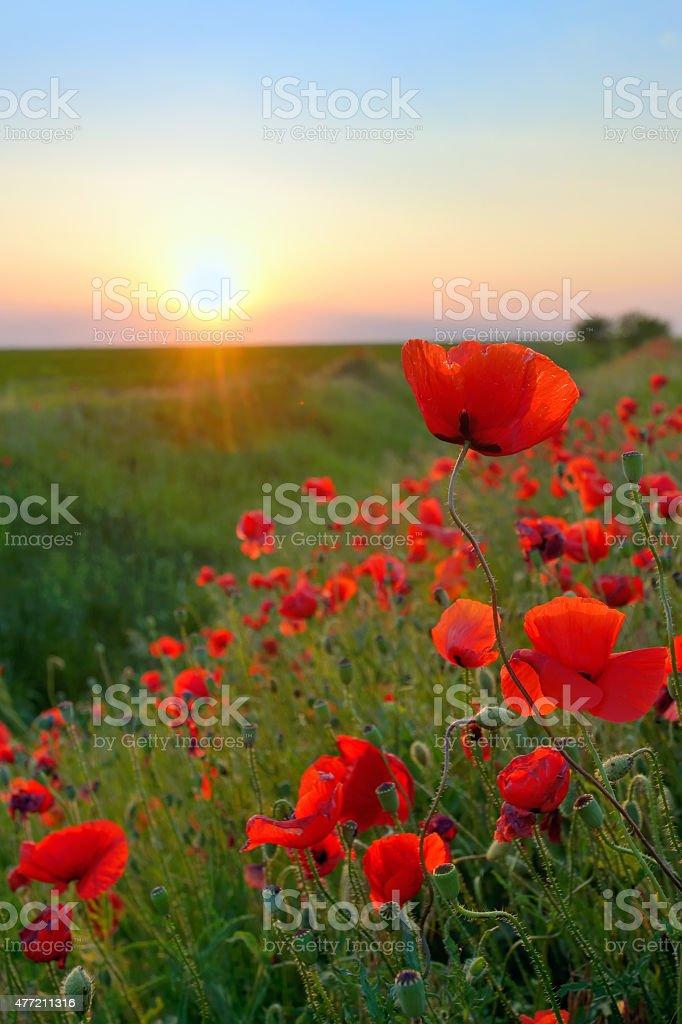 Poppy Flowers Papaver rhoeas in Spring stock photo
