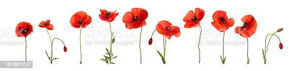 Poppy flowers in a row. Isolated on white.