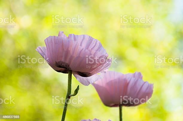 Poppy flowers picture id486837593?b=1&k=6&m=486837593&s=612x612&h=48rw9lgrb4cheghndzgojeewws1dbsrtcnkf8sf4zgc=