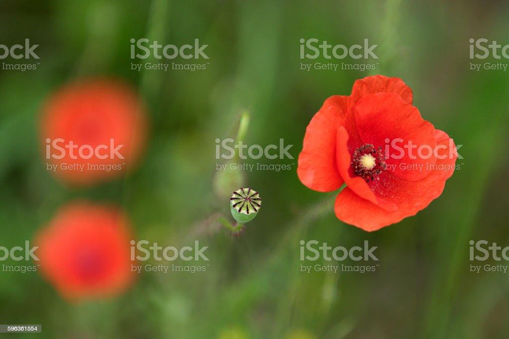Poppy flowers. royalty-free stock photo