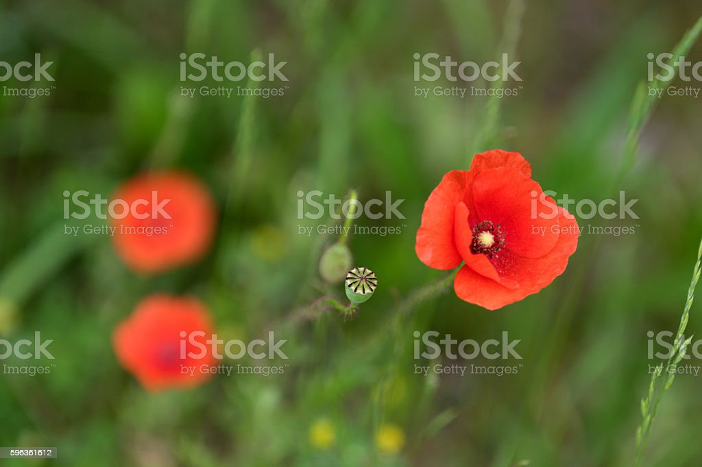 Poppy flowers. royalty-free stock photo