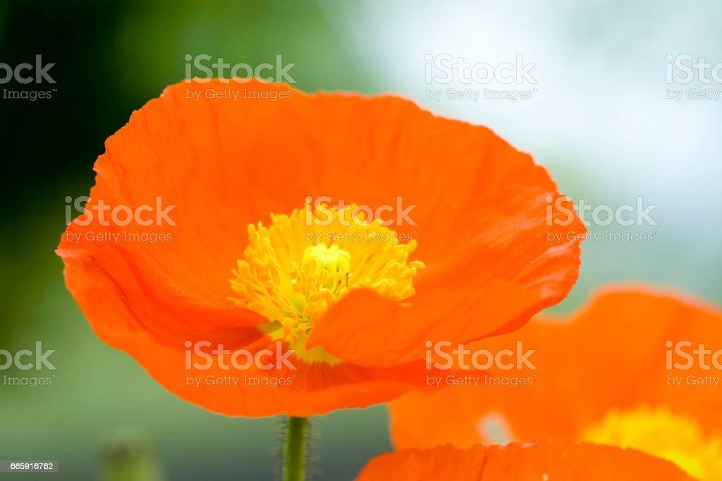 Poppy flowers foto stock royalty-free