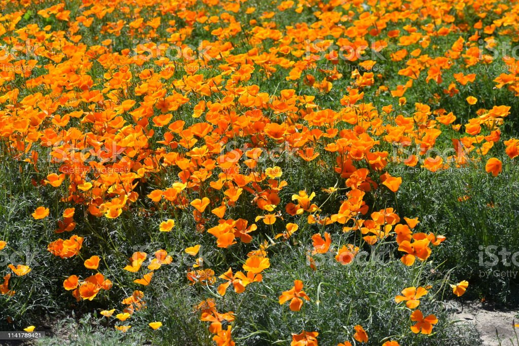 Poppy Flowers with Small Earth Patch stock photo
