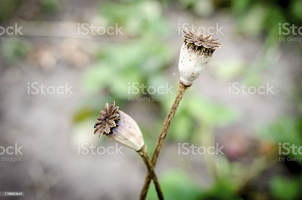 Poppy heads royalty-free stock photo