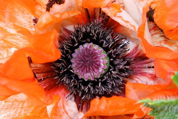Poppy Heart stock photo