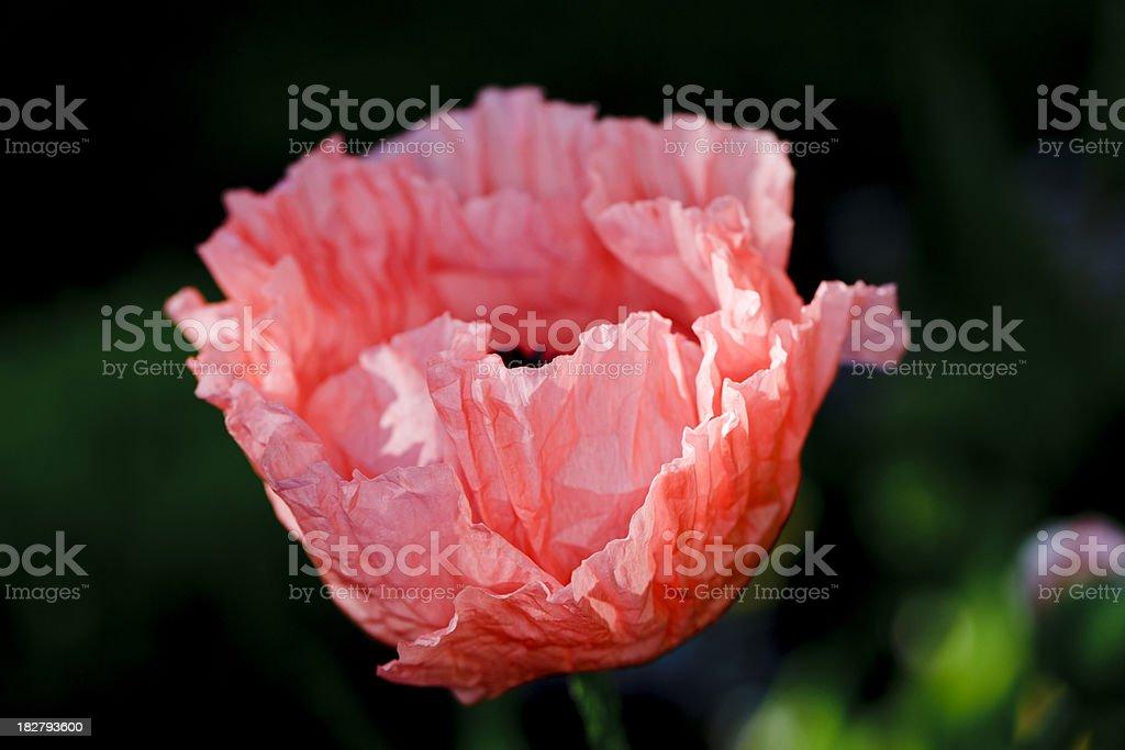 "Poppy ""Helen Elizabeth"" (Papaver orientale) royalty-free stock photo"