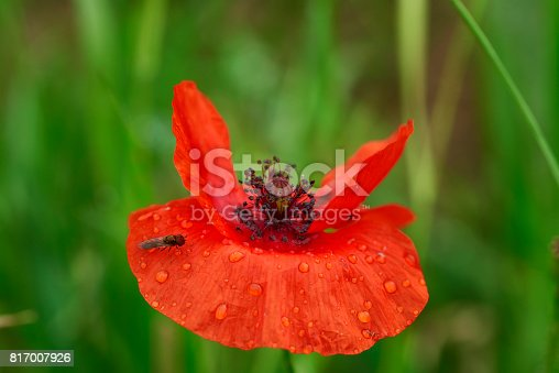 A fly has landed on a poppy and is waiting to get dry and warm to leave again.
