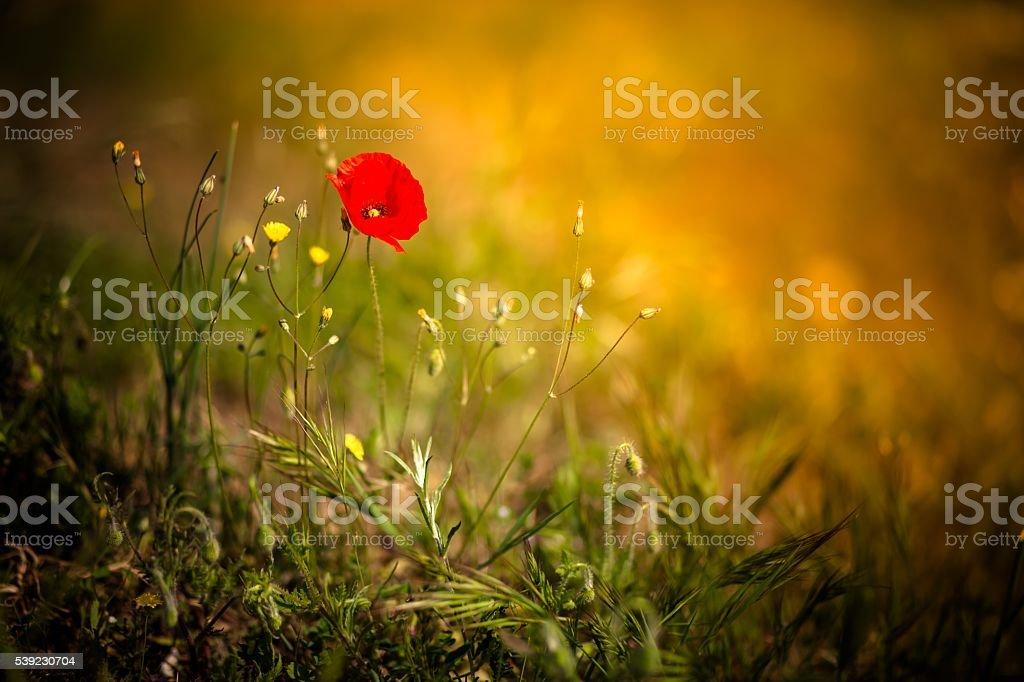 Poppy in a field at sunset foto de stock libre de derechos