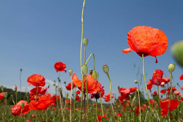 Poppy in a field stock photo