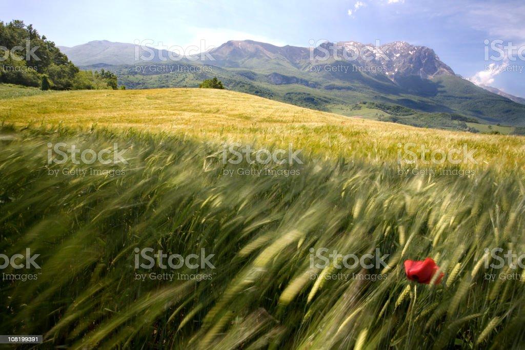 poppy in a wheat field royalty-free stock photo