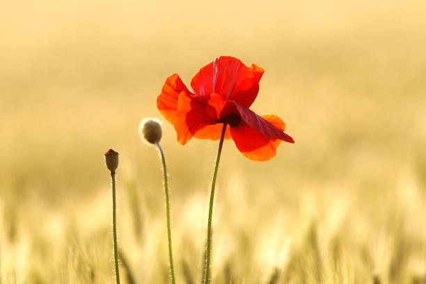 Poppy in corn field – Foto