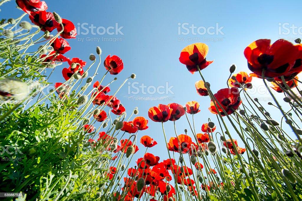 poppy in field - Royalty-free 2015 Stock Photo