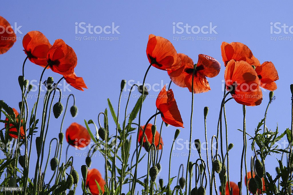 Poppy in front of a blue sky royalty-free stock photo