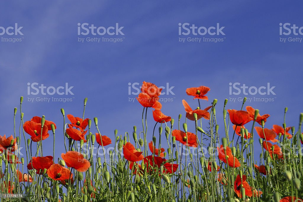 Poppy in front off a blue sky royalty-free stock photo