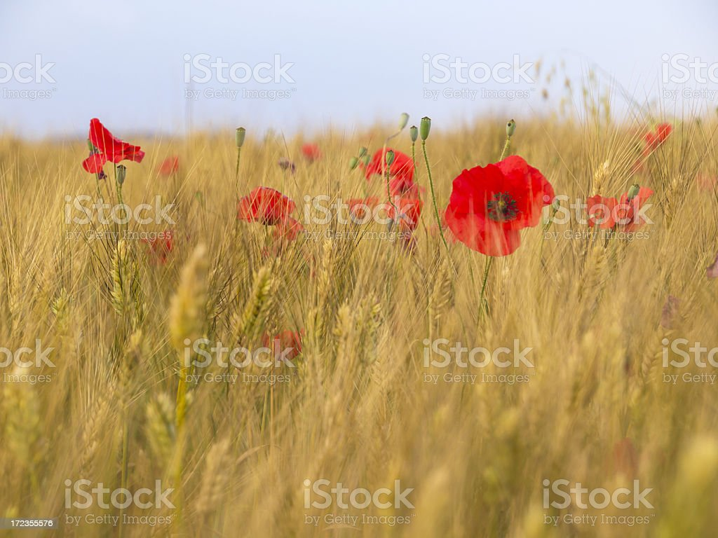 Poppy in meadow royalty-free stock photo
