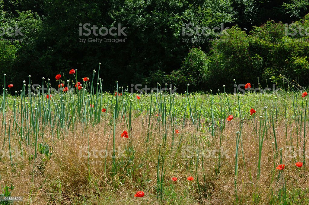 Poppy In The Field royalty-free stock photo