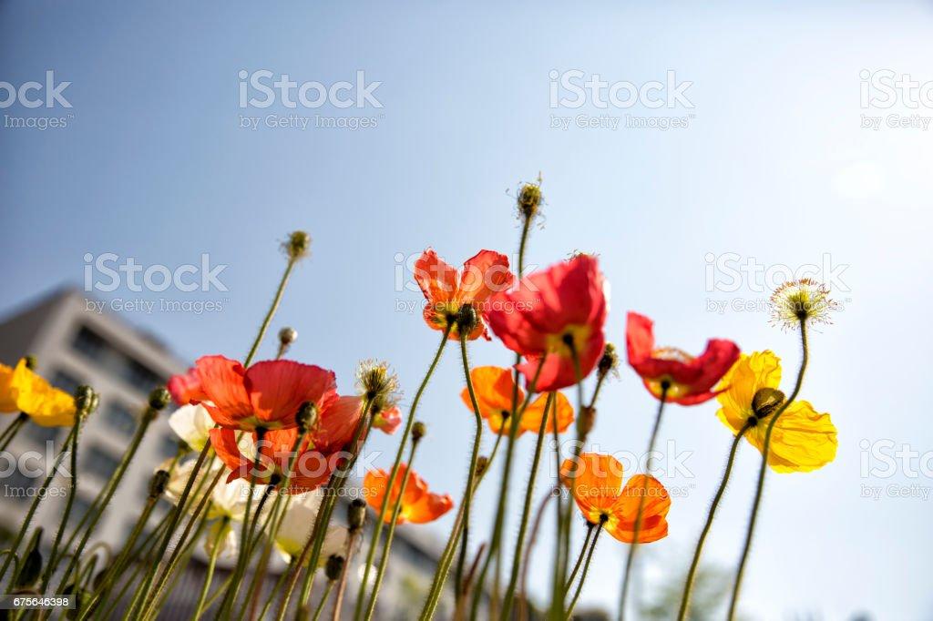 Poppy Iris popping with blue sky background royalty-free stock photo