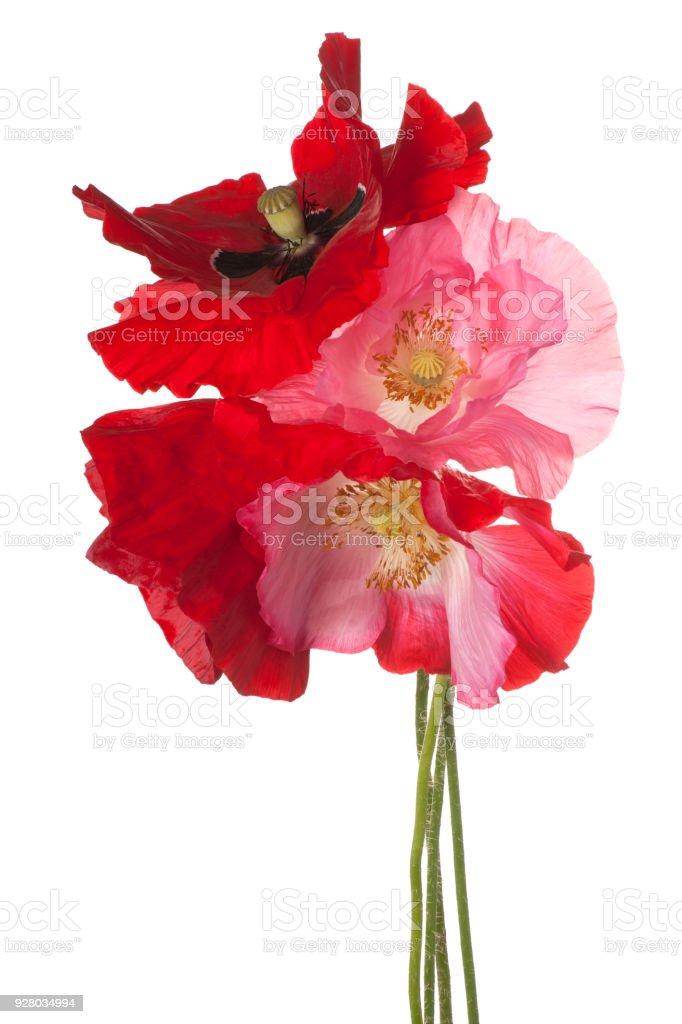poppy isolated on white stock photo