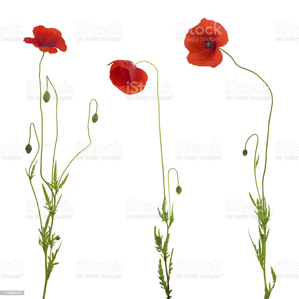 poppy isolated royalty-free stock photo