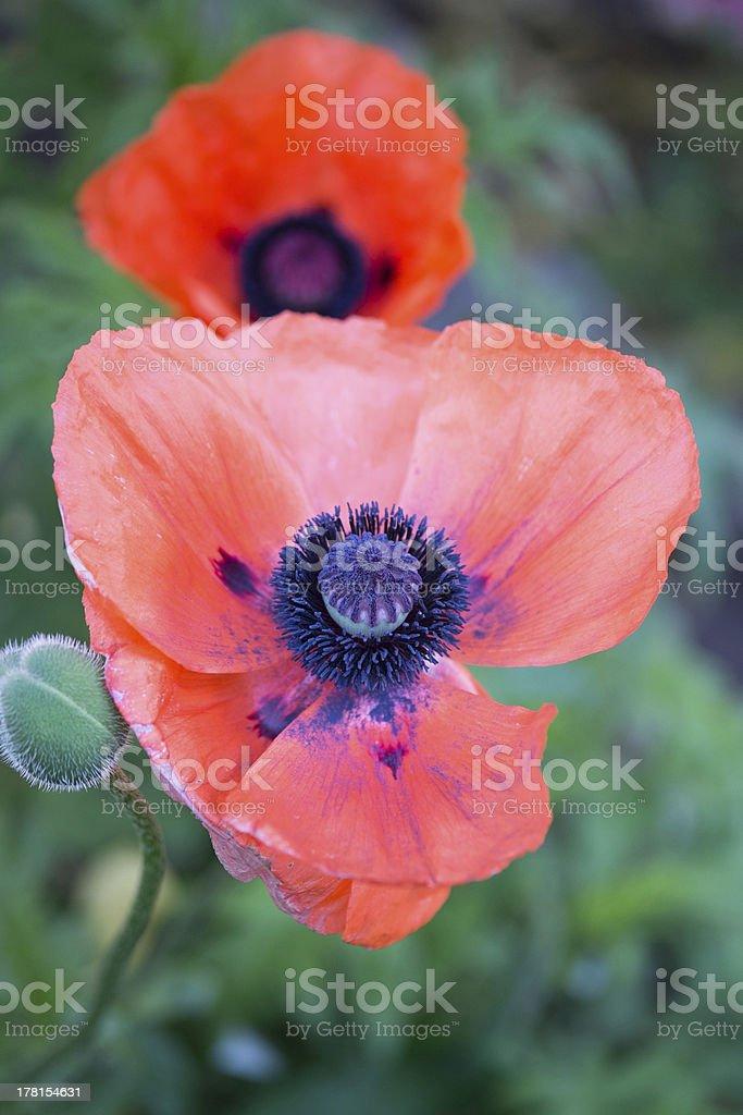 poppy macro and closeup royalty-free stock photo