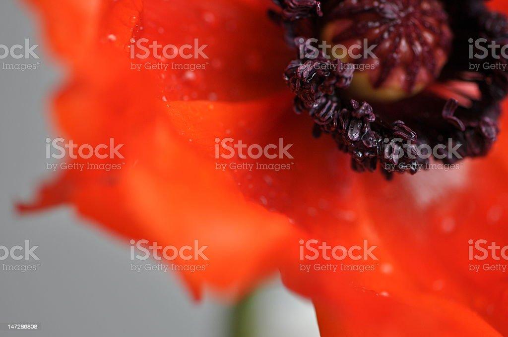 Poppy macro royalty-free stock photo