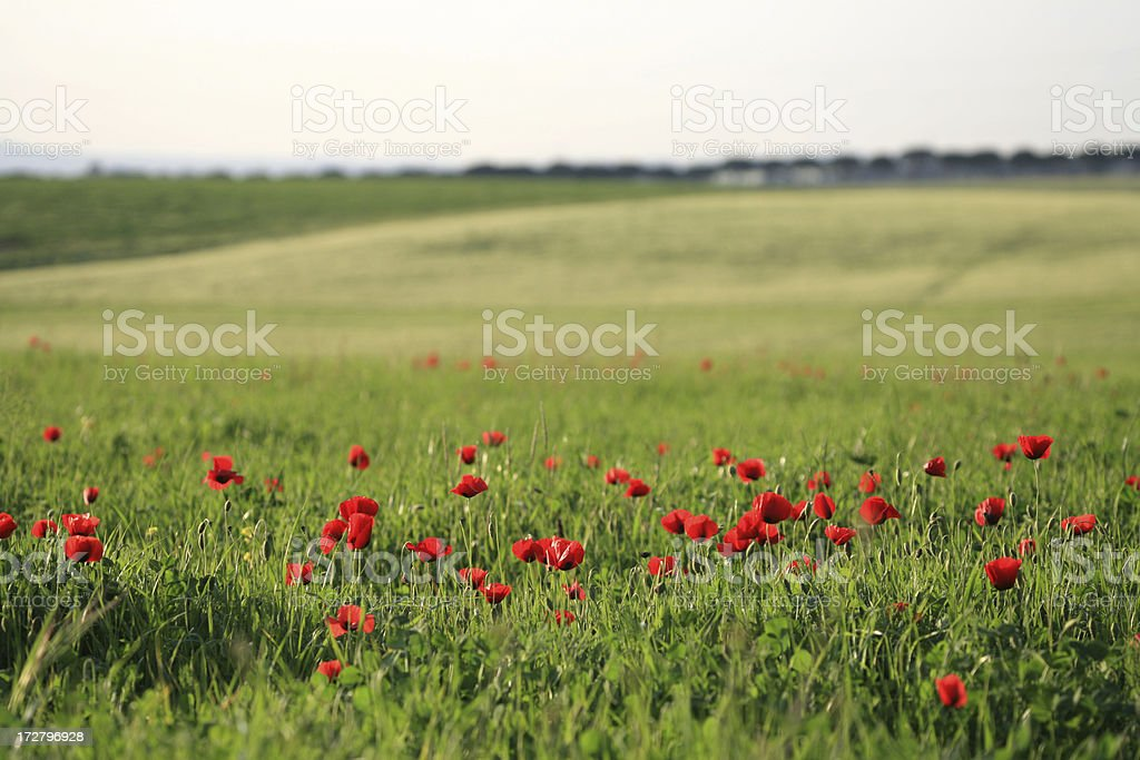 Poppy meadow background royalty-free stock photo