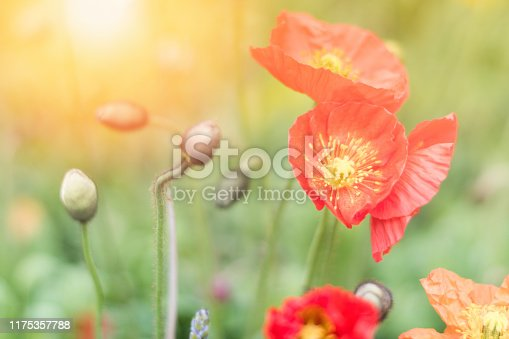 Poppy of wartime remembrance, Papaver rhoeas, the red flower corn poppy and bulbs on in botanic garden. Veterans day and Nature background concept