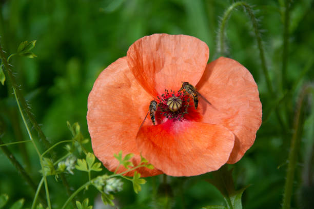 Poppy on a green foliage background with two feeding insects stock photo