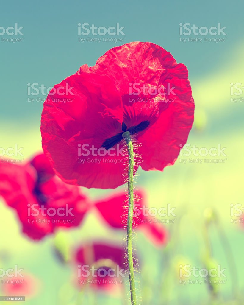 Poppy on green stock photo