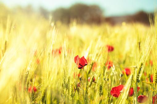 Poppy on summer meadow