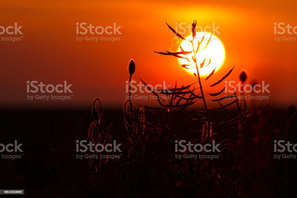 Papoila na sunset - Foto de stock de Calor royalty-free