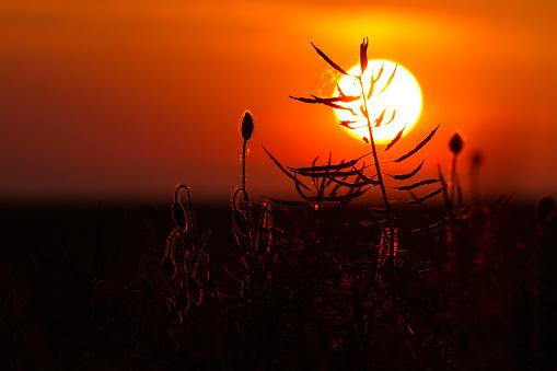 Foto de Papoila Na Sunset e mais fotos de stock de Calor