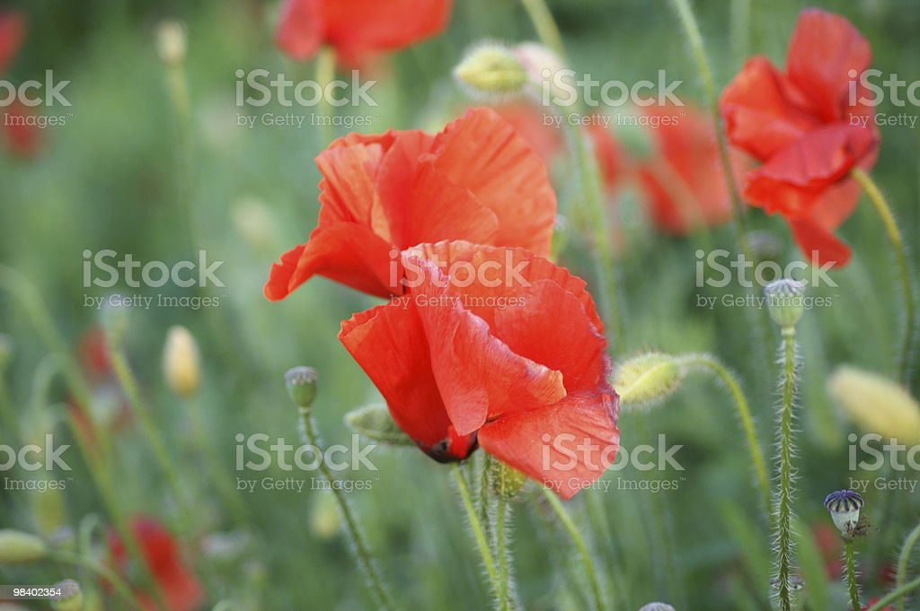 Poppy on the sun royalty-free stock photo