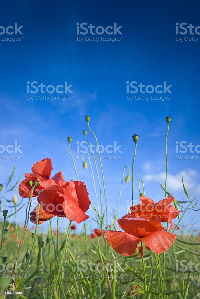 Poppy pandaemonium! royalty-free stock photo