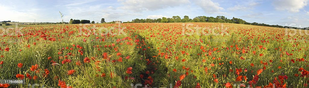 Poppy panorama. royalty-free stock photo