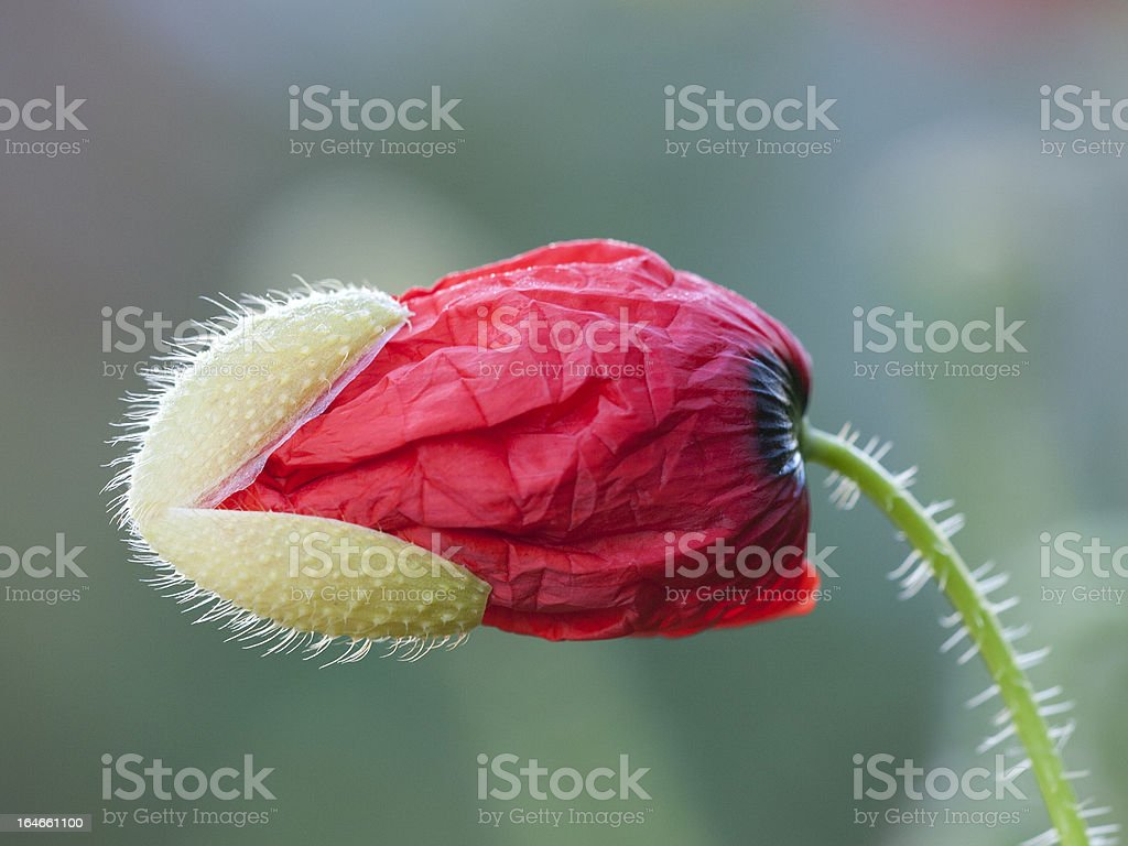 Klatschmohn; Papaver rhoeas royalty-free stock photo