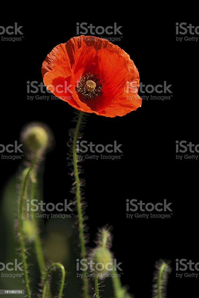 Poppy, Papaver rhoeas stock photo