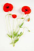 Red flower of Common Poppy on white background