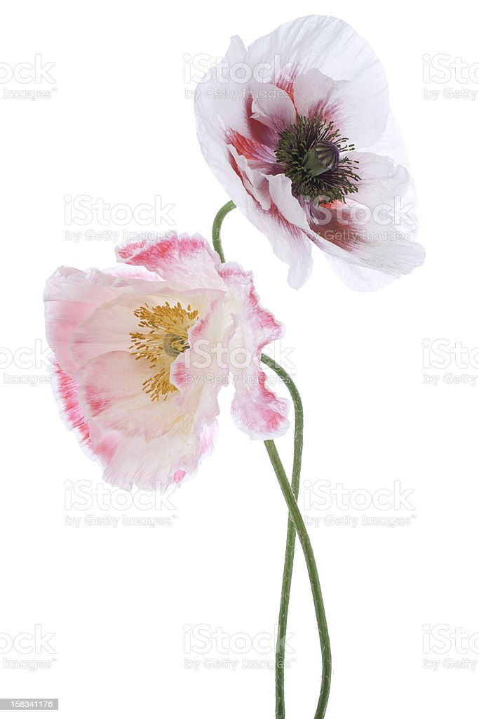 poppy royalty-free stock photo